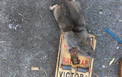 Everyone Likes Nutella, Even the Rats of San Rafael