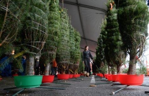 San Rafael High School sophomore Olivia Davis walks between rows of newly delivered Christmas trees as students set up a Christmas tree lot on campus in San Rafael, Calif. on Wednesday, Nov. 21, 2017. SRHS students volunteer each year to set up and run the school
